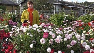 Астры однолетние – выращивание от посева до цветения