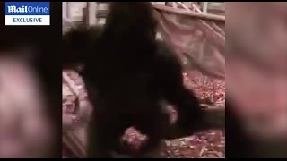 Exclusive: Silverback Gorilla Kumbuka attacks his enclosure before he escapes London Zoo