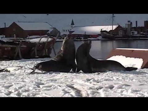 פילי ים באנטרטיקה