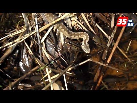 Как избежать встречи со змеями, и что делать, если гадюка все-таки укусила?