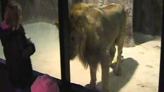 Lion attacks little Girl at zoo