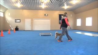 Keiko (Shiba Inu) Dog Training Demonstration
