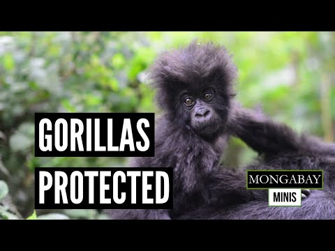 National parks prepare to protect gorillas from COVID-19