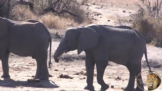 Story Of An Amazing Short Trunk Elephant Cow