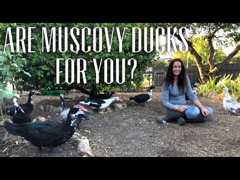 MUSCOVY DUCKS - 12 THINGS TO KNOW BEFORE GETTING MUSCOVIES