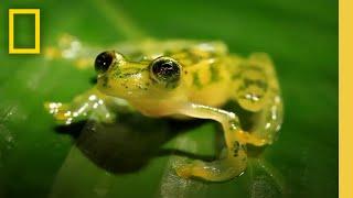 The Glass Frog  Ultimate Ninja Dad | Animal 24