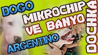 DOGO ARGENTINO - MICROCHIP VE ILK BANYO - DOCHKA - DOÇKA MİKROÇİP