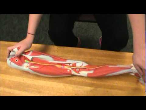 lower extremity nerves - youtube, Muscles