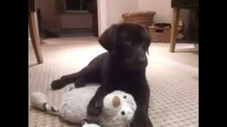 Labrador Puppies For Sale At Petsyoulike