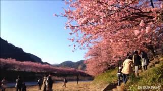 河津桜でひと足早く春を満喫しよう thumbnail