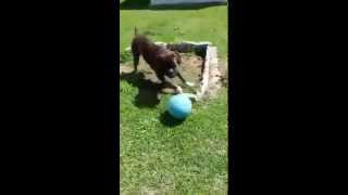 German Boxer Play
