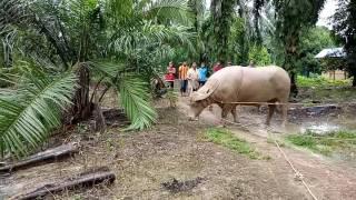 Korban kerbau di kg permatang duku benut pontian 2016