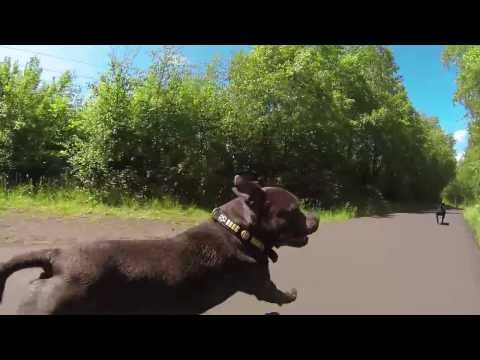 Thor & Freya's Fun Run - Staffordshire Bull Terriers