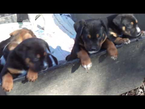 3/4 American Bulldog 1/4 Rottweiler puppies 12/3/2015 for sale