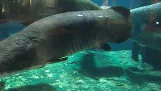 ピラルク☆かごしま水族館いおワールド♪4/20,2012