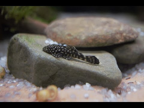 Bristlenose Pleco - Should You Get One