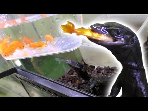 腹ペコのオオトカゲに大量の金魚を与える!