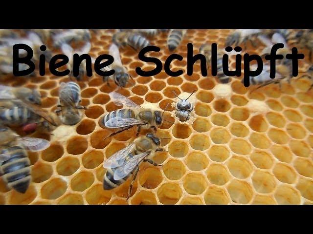 Biene Honigbiene schlüpft Imkerei geburt einer Biene