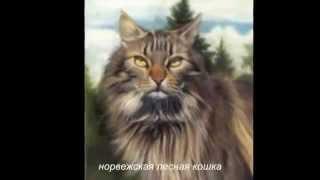 разные породы кошек. Смотрите фотографии кошек разных пород