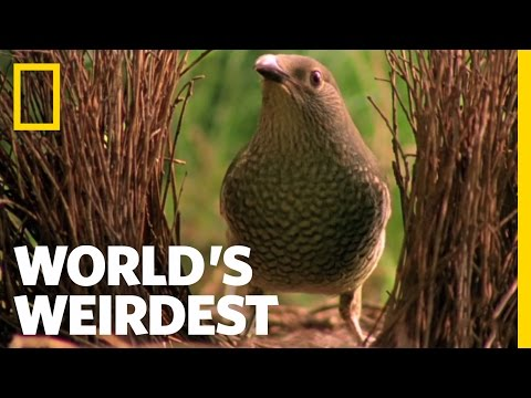 Bowerbird Woos Female with Ring | World's Weirdest