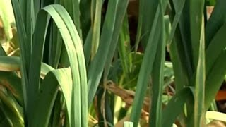 Easiest Way to Grow Leeks : Fall Gardening
