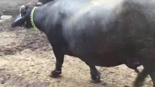 New buffalo arrival at bhopalwala dairy farm, Bhopalwala,Pakistan, Riaz Gujjar