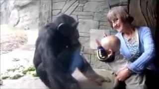 なぜか赤ちゃんを蹴ろうとするチンパンジー。 これは遊んでいるつもりな...