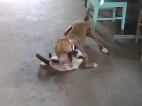 pitbull quase  e o gatinho   youtube