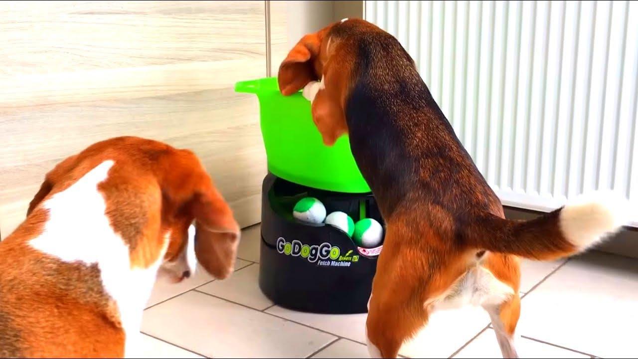 Funny Dogs Playing With Godoggo G4 Fetch Machine Cute Beagle Louie Youtube