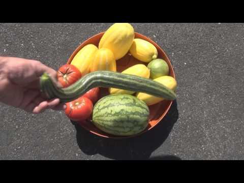 Garden Melon Harvest