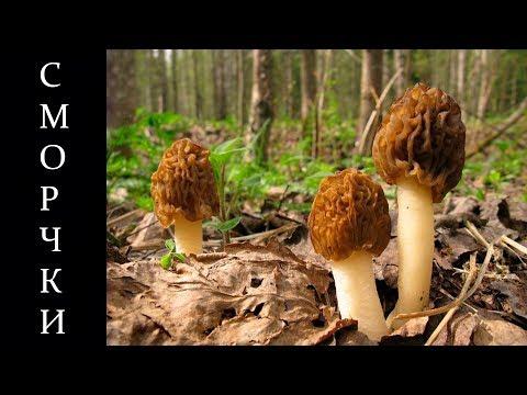 Весенние грибы сморчки, сморчковая шапочка и её особенности