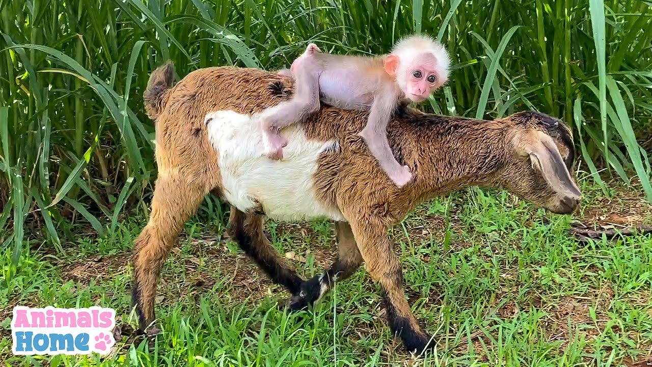 Goat are best friends with baby monkeys
