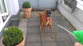 Boxer Dog Goes Nuts!