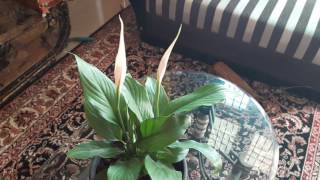 How to grow and care Peace Lily/ Spathiphyllum Plant