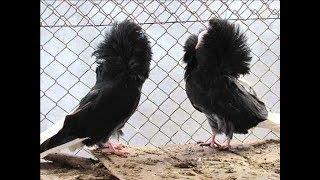 ВЫСТАВКА в ОАЭ. Декоративные голуби ЯКОБИНЫ.