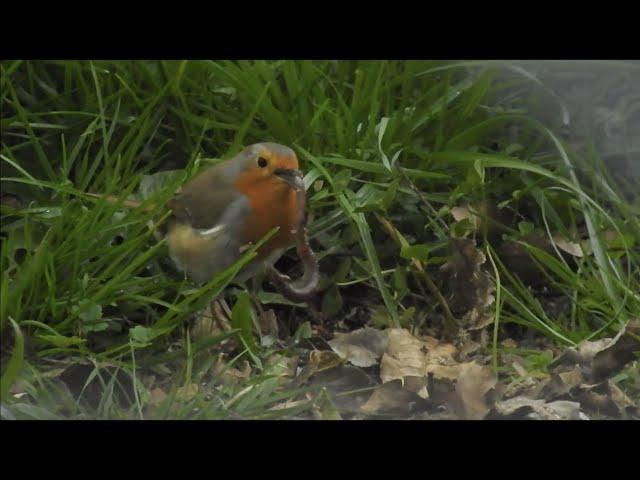 El petirrojo y la lombriz / The robin and the worm
