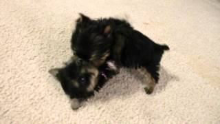 Priceless Yorkie Puppy Worlds Smallest Teacup Yorkies Puppies Playing Tug-a-war