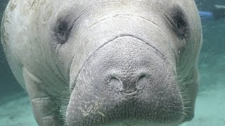Manatees: Conserving a Marine Mammal - Full Episode