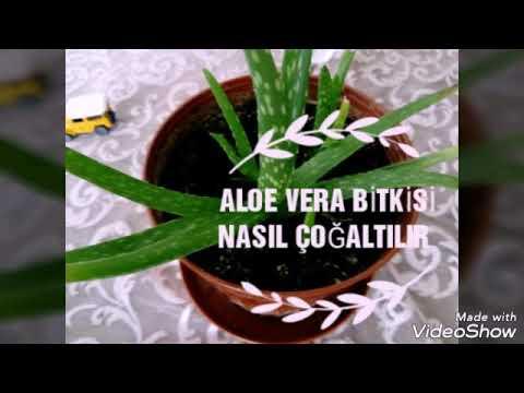 ALOE VERA BAKIMI FAYDALARI  Mucize bitki, how to grow, Aloe Vera at home,ALOE VERA NASIL ÇOĞALTILIR
