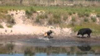 Gator baying a wild boar hog at Stones Guided Hunts and doing a Great Job!