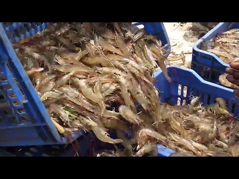 Shrimp Fishing   Prawns Fishing   Prawns Catching Videos