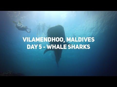Vilamendhoo, Maldives - Day 5 - Whale Sharks