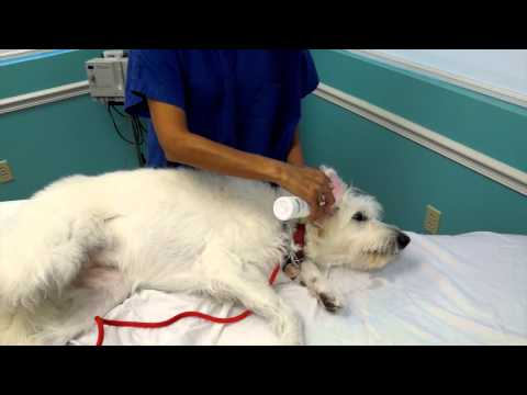 Cleaning Your Dogs Infected Ears