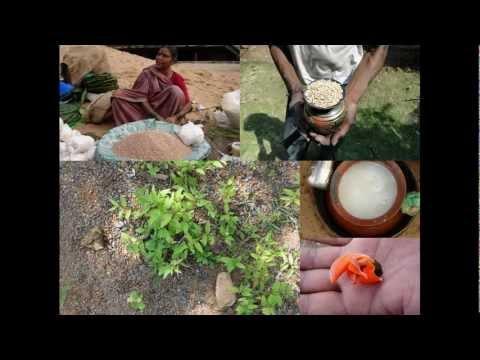 Medicinal Rice P5 Formulations for Bryophyllum Overdose: Pankaj Oudhia