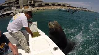 Pancho the Sea Lion in Cabo 2015