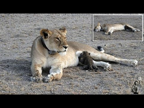Maternal instinct: For the first time, a wild lioness is seen nursing a baby leopard