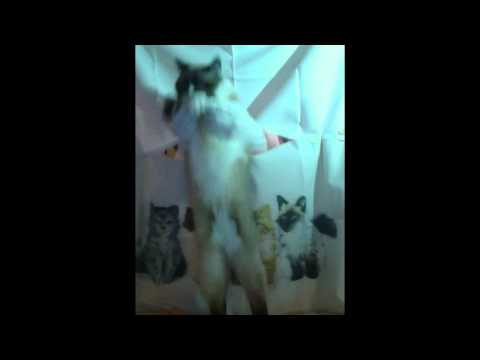 Dancing Cat - U Can't Touch This!