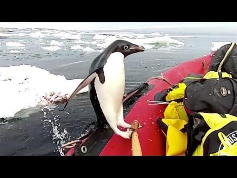 Penguin pops onto research boat in Antarctica