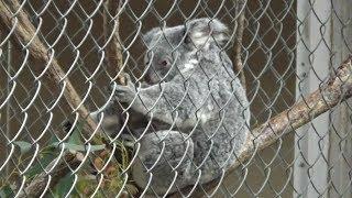 埼玉県こども動物自然公園のコアラの親子です。 Cute baby koala mother...