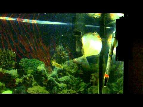 Silver Dollar Fish Corkscrew / Whirling Disease